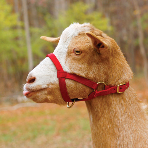 7B deluxe goat halter goat harness at crackthecode.co