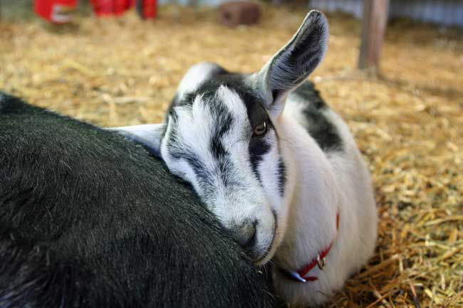 Test your goats