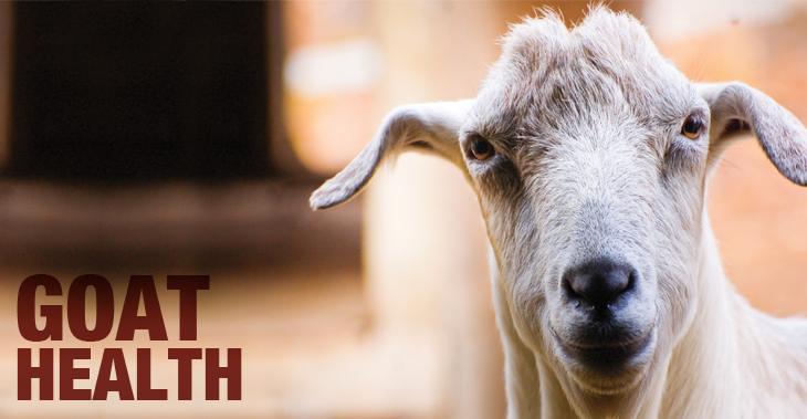 Goat breeding essentials: Get your buck ready for breeding season