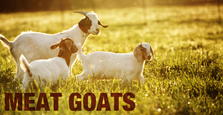 Meat goats: breeds and characteristics
