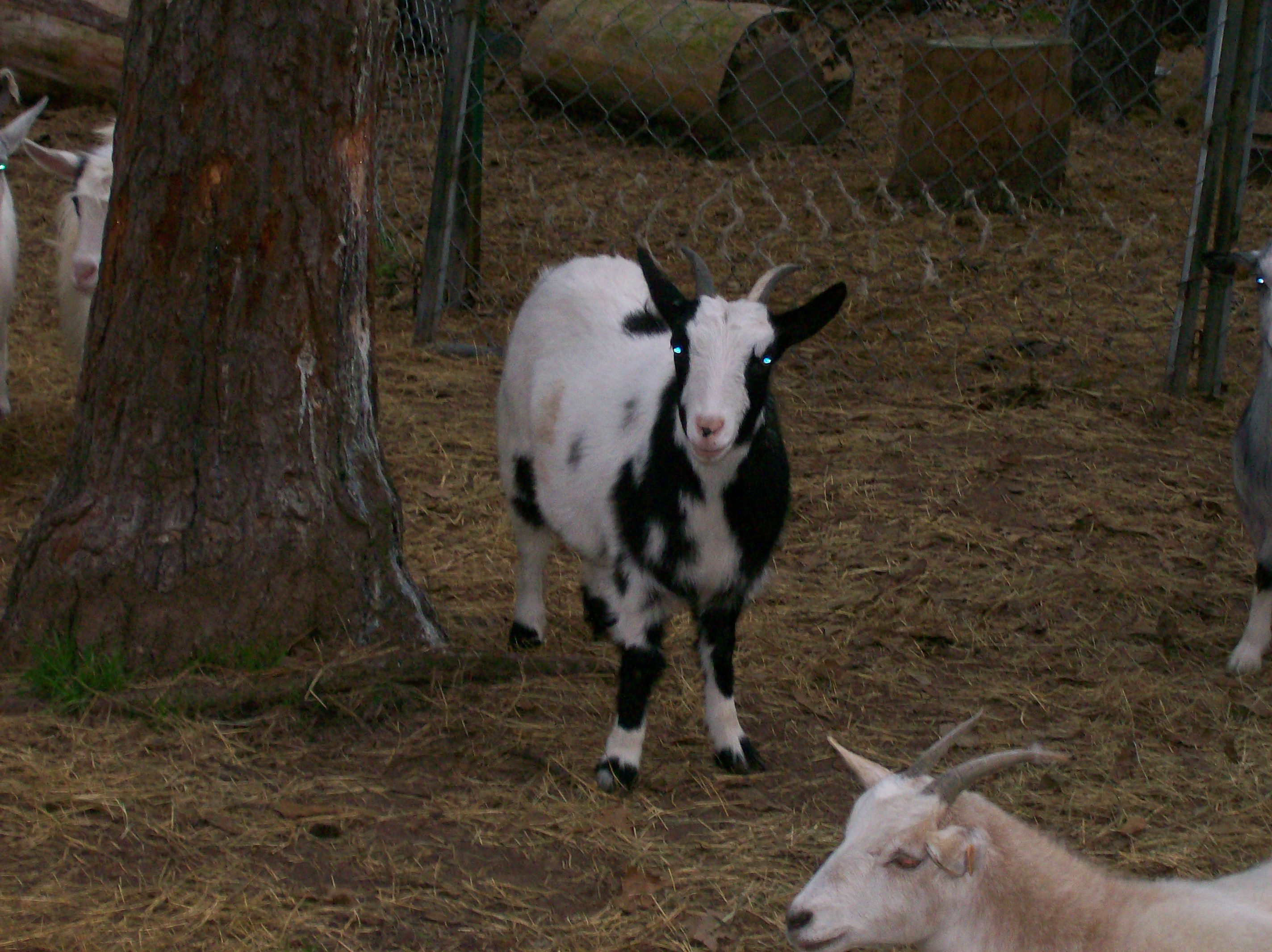 fainting goats Small family farm on the nc va border raising & selling quality premium registered myotonic goats check out the kids that are currently for sale.