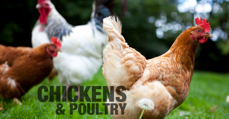How to Easily Diagnose and Treat Fowl Pox
