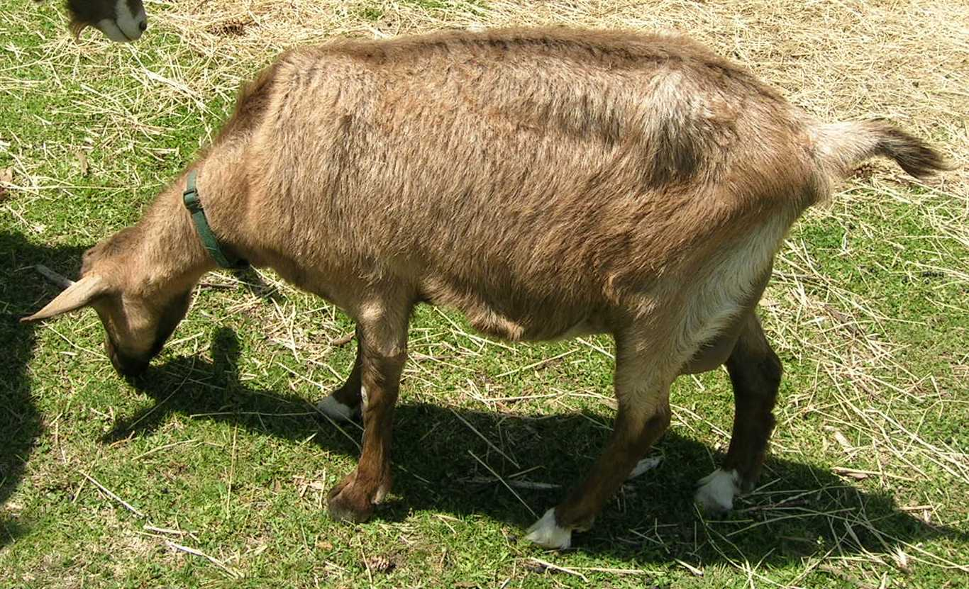 An Epidemic Mineral Deficiency In Goats